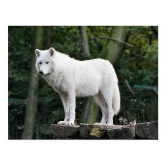 White Wolf salvaje Tarjeta Postal