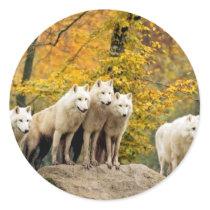 White wolf - snow wolf - wolf animal classic round sticker
