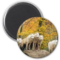 White wolf - snow wolf - wolf animal magnet