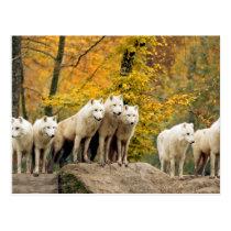 White wolf - snow wolf - wolf animal postcard