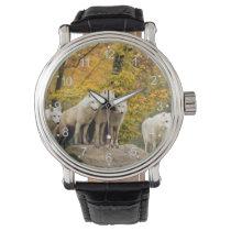 White wolf - snow wolf - wolf animal watch