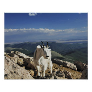 White Wool Rocky Mountain Goat stands on top of Poster
