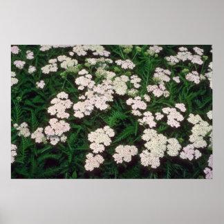 white Yarrow, (Achillea Sibirica) flowers Poster