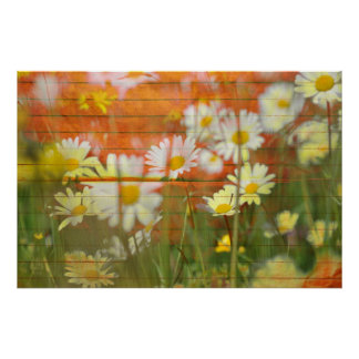 white yellow brown daises flower poster