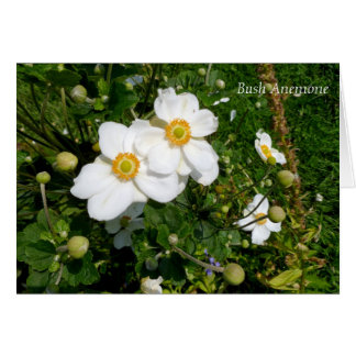 "White & Yellow ""Bush Anemone"" Carpenteria Card"