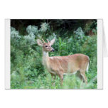 Whitetail Buck Cards
