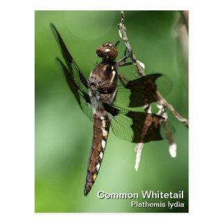 Whitetail común postales