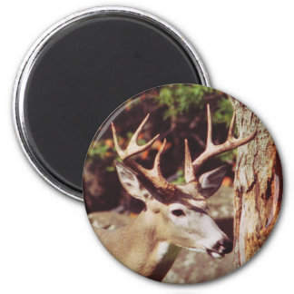 Whitetail Deer (Buck) Magnet