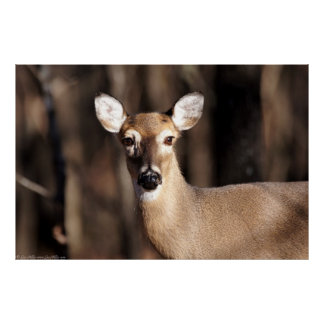 Whitetail Deer Doe In Winter Forest Poster