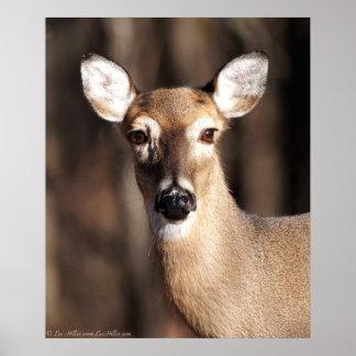 Whitetail Deer Doe Portrait  Poster