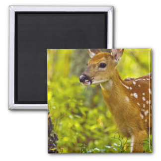 Whitetail deer fawn in Whitefish, Montana, USA 2 Inch Square Magnet