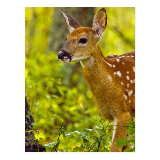 Whitetail deer fawn in Whitefish, Montana, USA Postcard