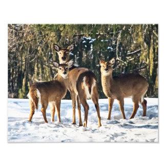Whitetail Deer in Snow Photo Art