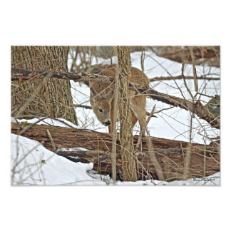 Whitetail Deer In Snow Photo Print