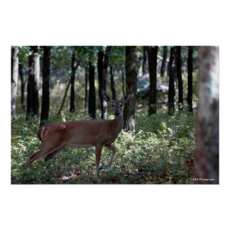 Whitetail Deer in the Poconos. print 0169