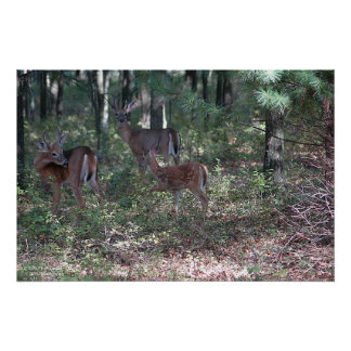 Whitetail Deer in the Poconos print 0200