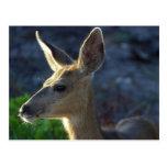 WhiteTail Deer Post Card