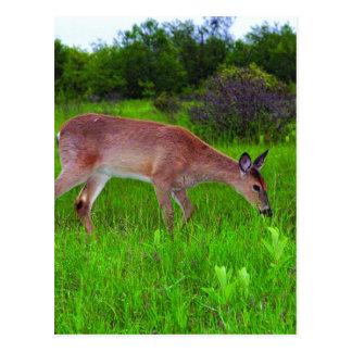 Whitetail Deer Postcard
