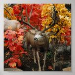 Whitetail en otoño impresiones