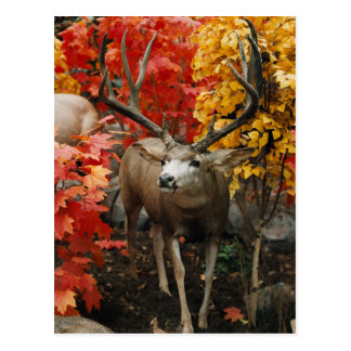 Whitetail en otoño postales