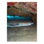 Whitetip Reef Shark 2 Postcard