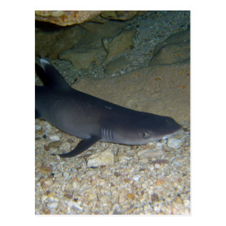 Whitetip Reef Shark Postcard