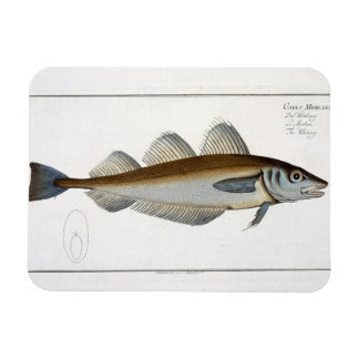Whiting (Gadus Merlangus) plate LXV from 'Ichthyol Magnet