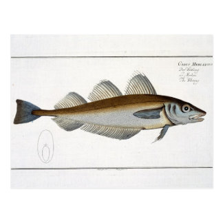 Whiting (Gadus Merlangus) plate LXV from 'Ichthyol Postcard