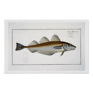 Whiting (Gadus Merlangus) plate LXV from 'Ichthyol Print