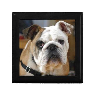 Whitish brown colored English Bull dog Posing Gift Box