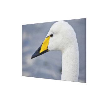 Whooper Swan at a pond in Reykjavik, Iceland. Canvas Print