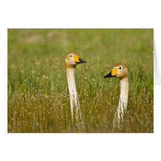 Whooper swan pair in Iceland. Card
