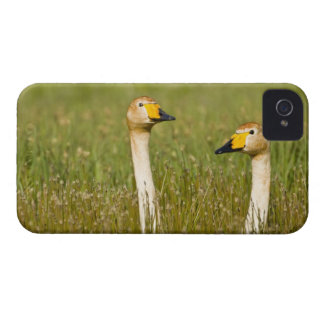 Whooper swan pair in Iceland. Case-Mate iPhone 4 Case