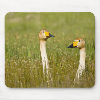 Whooper swan pair in Iceland. Mouse Pad