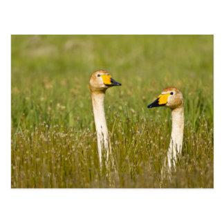Whooper swan pair in Iceland. Postcard