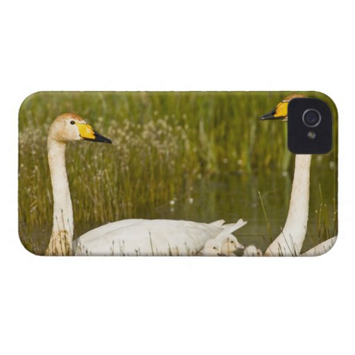 Whooper swan pair with cygnets in Iceland. Blackberry Case