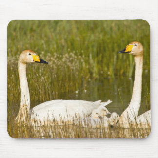 Whooper swan pair with cygnets in Iceland. Mouse Pad