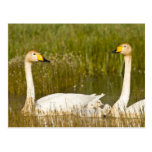 Whooper swan pair with cygnets in Iceland. Postcard