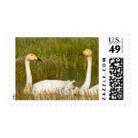 Whooper swan pair with cygnets in Iceland. Stamps
