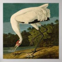 Whooping Crane Audubon Bird Print