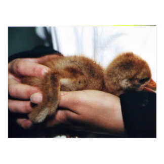 Whooping Crane Chick Post Card