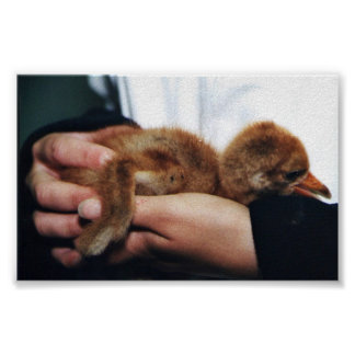 Whooping Crane Chick Poster