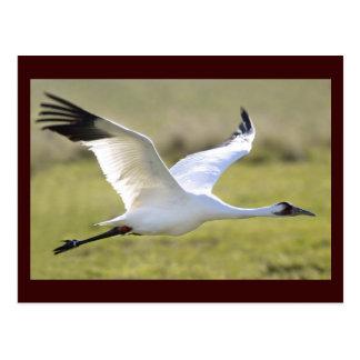 Whooping Crane (Grus americana) Postcard