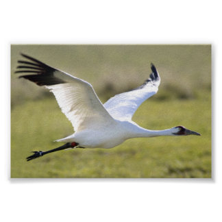Whooping Crane (Grus americana) Poster