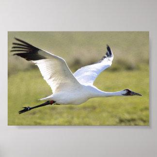 Whooping Crane (Grus americana) Print