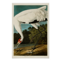 Whooping Crane John James Audubon Birds of America Poster