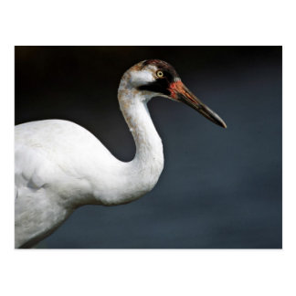 Whooping Crane Post Card