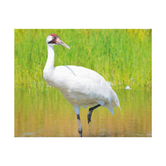 Whooping Crane Wading in Marsh Canvas Print