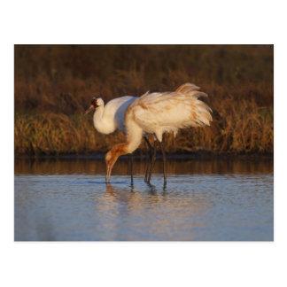 Whooping Crane wintering 2 Postcard