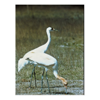 Whooping Cranes Postcard